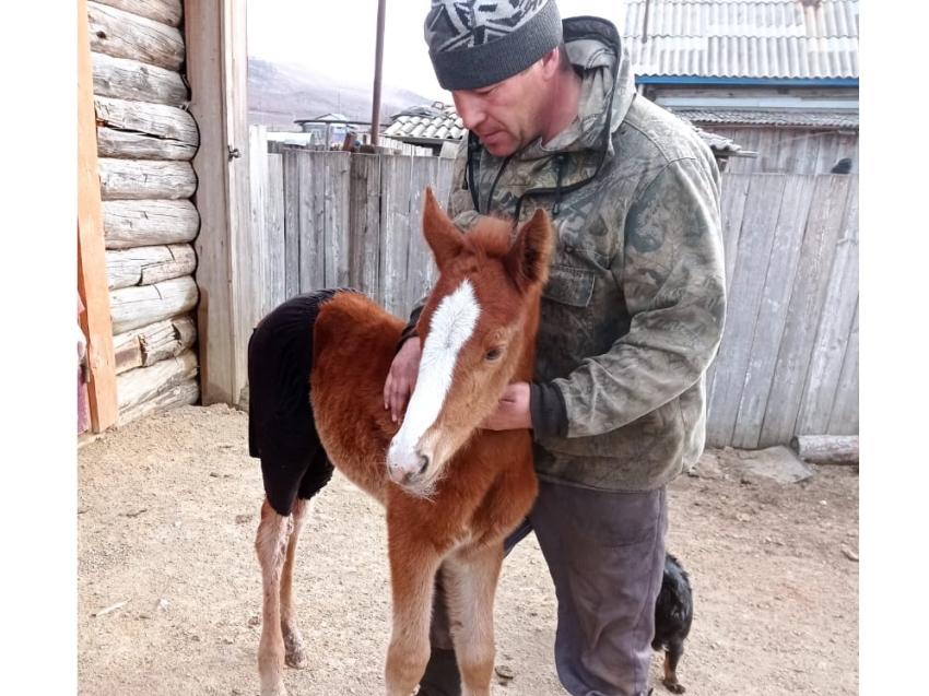 Новорожденный жеребенок, выживший после нападения волков. Газ-Завод, 16.04.2021. Фото: Госветслужба