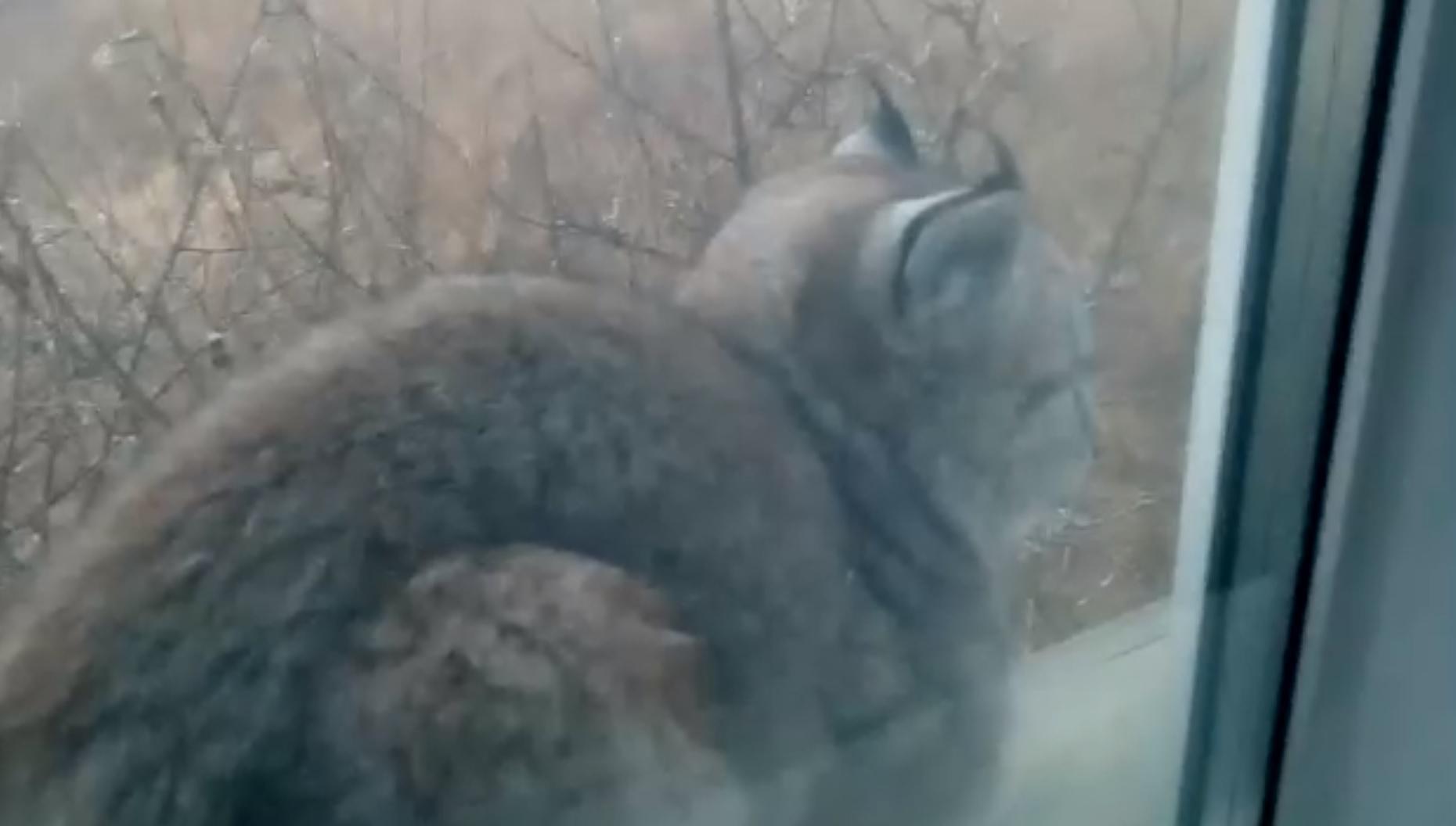 Забайкалец заснял на видео рысь, которая сидела у него на подоконнике (видео)
