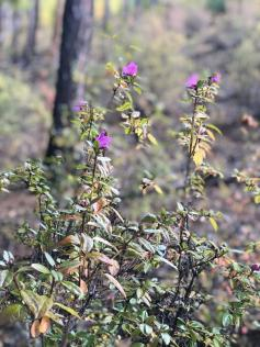 Багульник расцвел в октябре в забайкальской тайге. Фото сделано на севере края