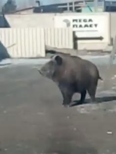 Раньше по улицам Читы бегали медведи, теперь вот кабан. 4 февраля 2020г.