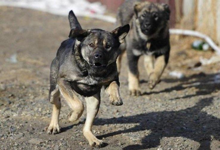 У покусанного собакой в Приаргунском районе 4-летнего ребенка удалили почку