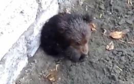 Потерявшийся медвежонок вышел к людям в Бурятии (видео)