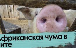 Всех читинских чушек уничтожат: вспышка африканской чумы свиней в Чите