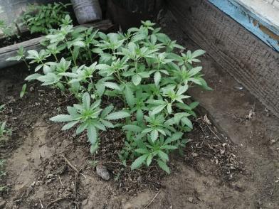 Забайкалец выращивал коноплю у себя на огороде