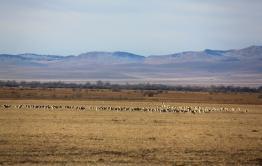 Дзерены продолжают массово бежать в Забайкалье из Монголии