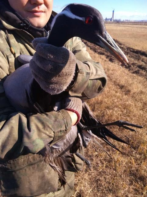 Сотрудники Забайкальской администрации нашли раненого краснокнижного журавля